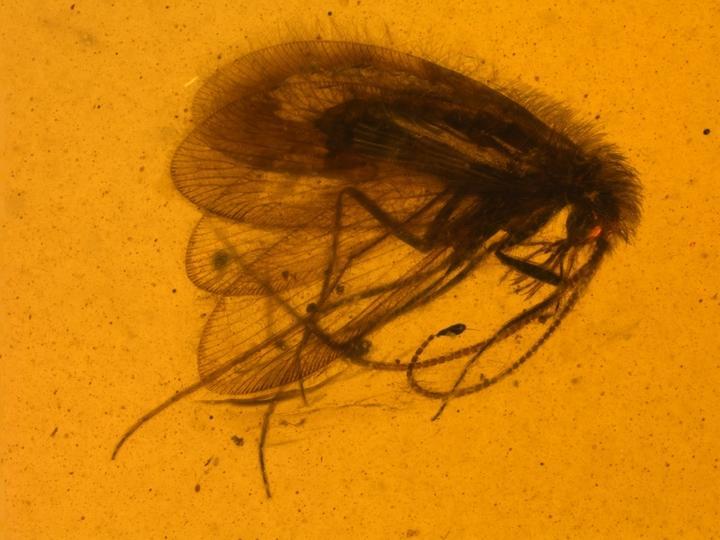 Buratina truncata, The New Long-Proboscid Species of Paradoxosisyrinae from Burmese Amber
