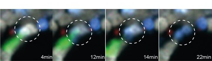Intravital Imaging of a CAR T Cell in Action