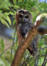An Adult Northern Spotted Owl