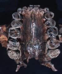 Palate and maxillary teeth of <i>Paranthropus boisei</i>