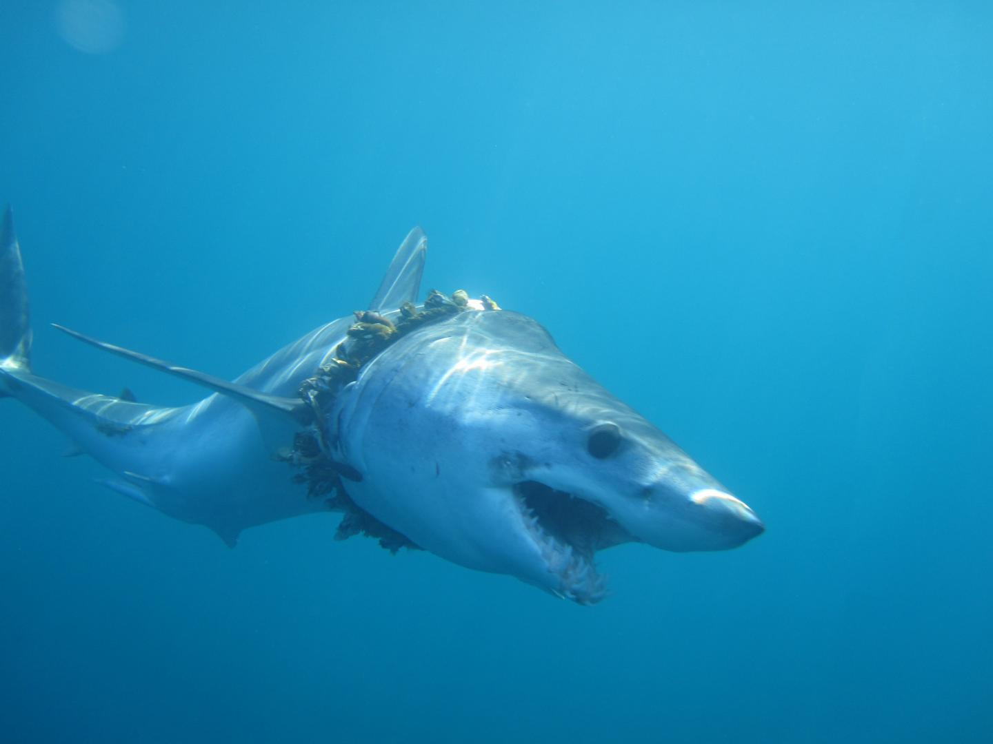 A Shark Entangled in Fishing Rope