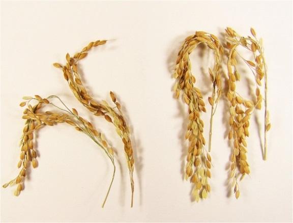 SUSIBA2 Rice Compared to Control