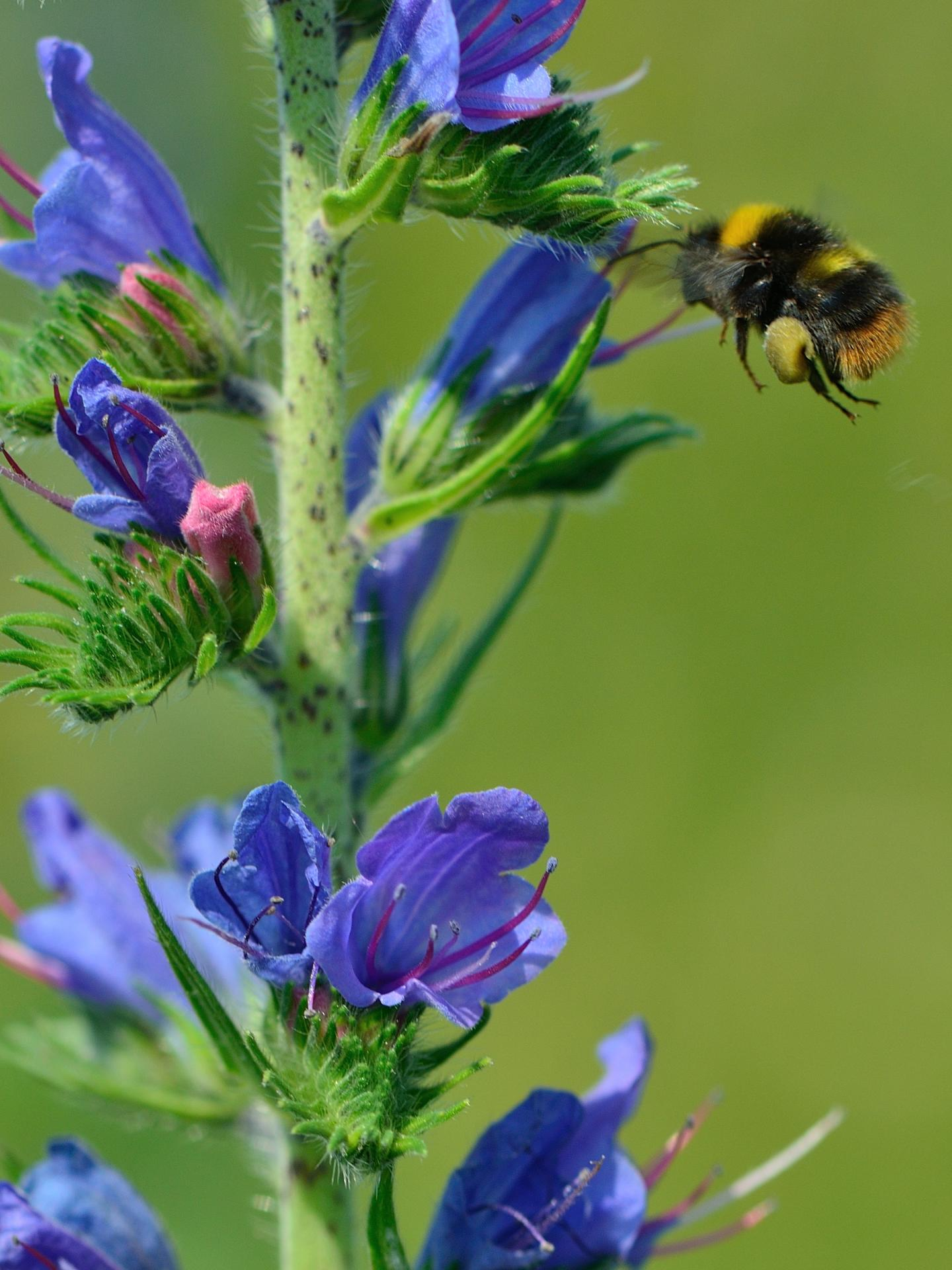 The Bumble Bee Collects Pollen