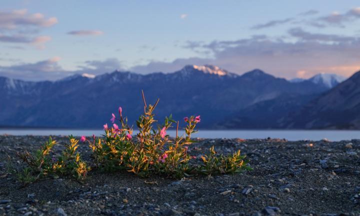 Dwarf Fireweed in Lake Yukon