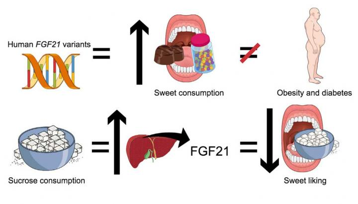 FGF21 in Humans