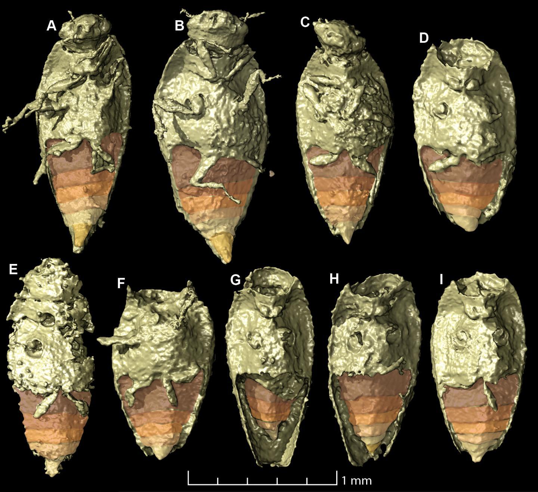 <em>Triamyxa coprolithica</em> (2 of 2)