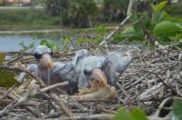 Urban Stork Chicks