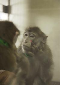 Rhesus Monkeys Can Learn to Recognize Themselves in the Mirror