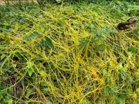 In Nature, Dodder Entwines Different Plant Species