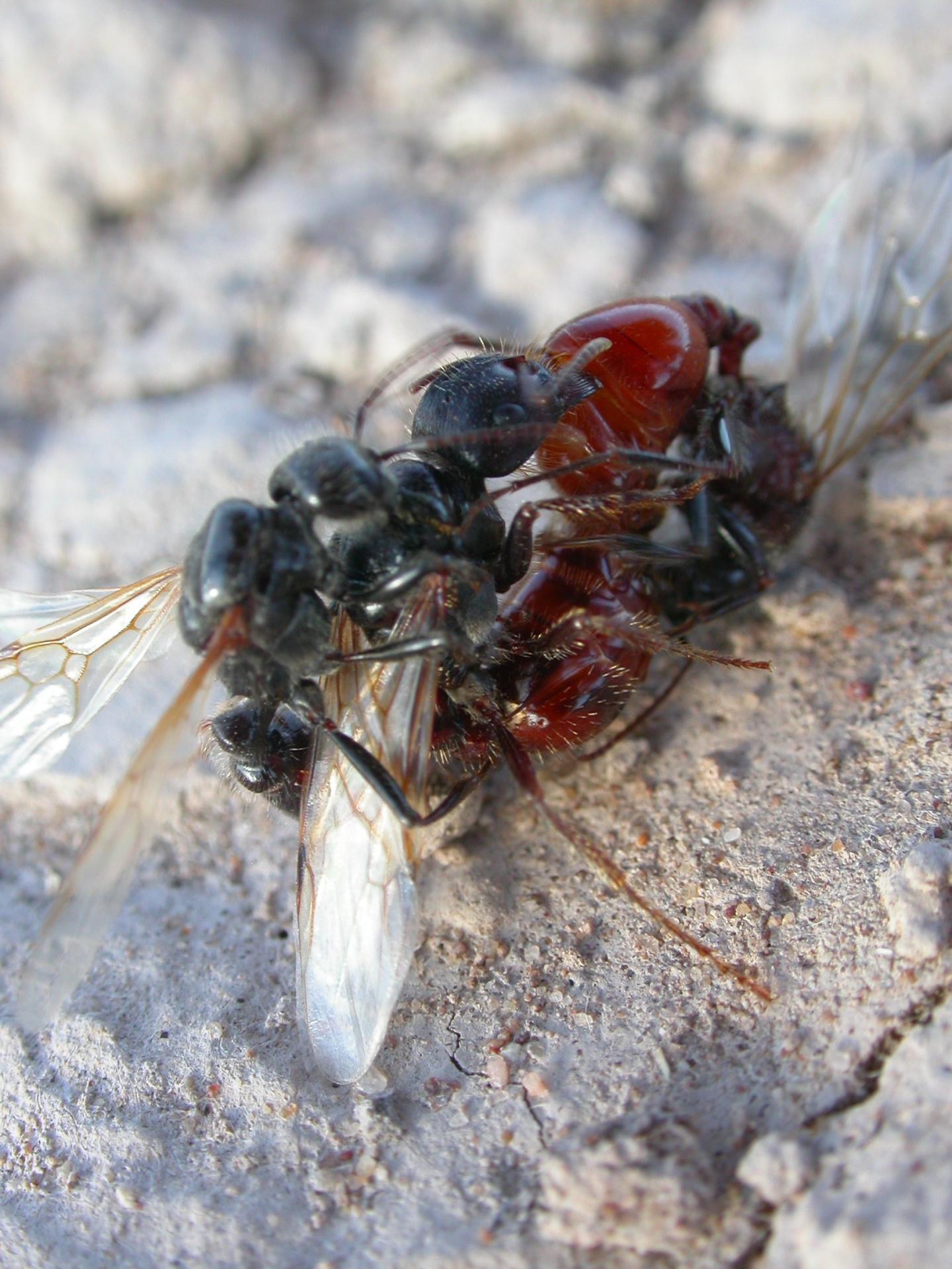 Mating Harvester Ants on the Arizona/New Mexico Border
