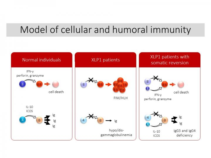Model of Cellular and Humoral Immunity