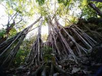 Banyan tree in Xihsuangbanna