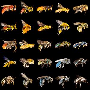 Australian bee display