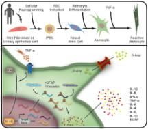 Graphical Description of the Experiment: Human Astrocytes during Astrogliosis