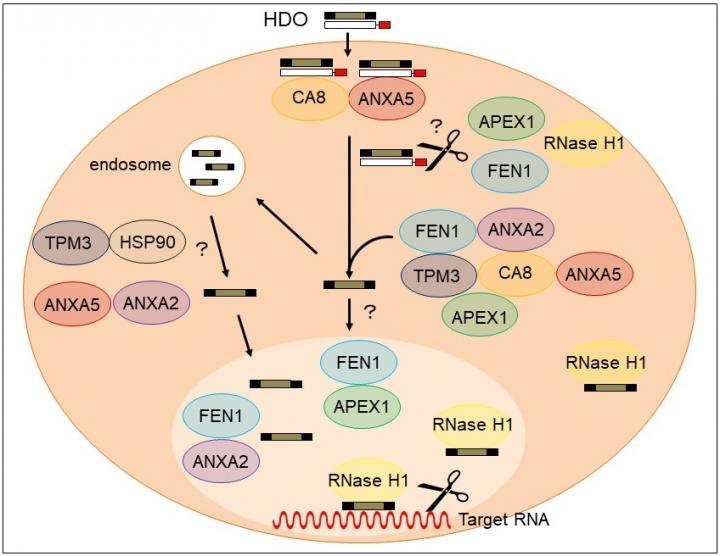 Mechanism of HDO-dependent gene expression regulation (including unpublished data)