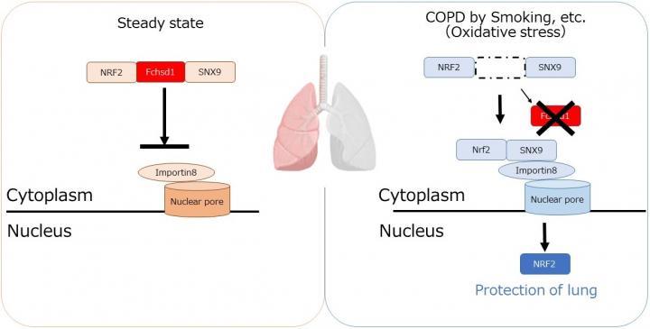 Novel regulation mechanism of oxidative stress response by Fchsd1