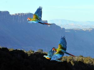 free-flight macaws