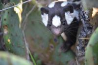 Western Spotted Skunk Face