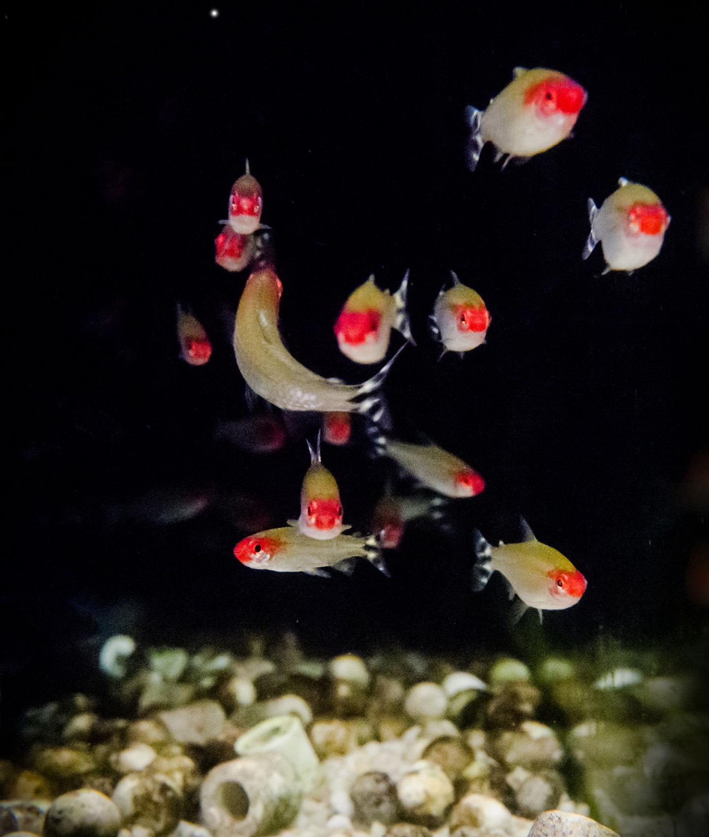 Fish Switch Attention from Neighbor to Neighbor for Seamless Collective Movement