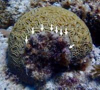 Silliman Coral