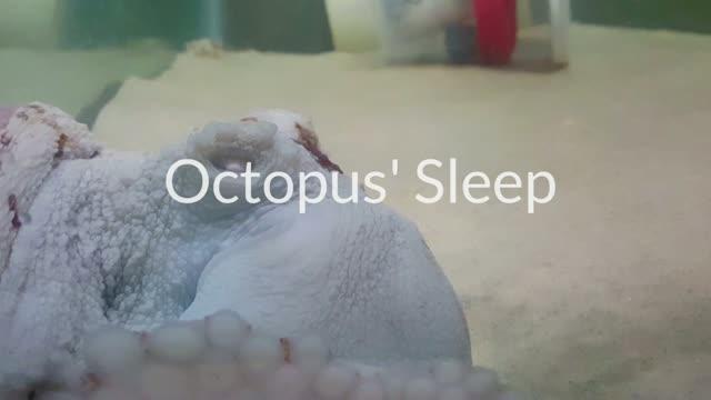 Octopus in quiet and active sleep states