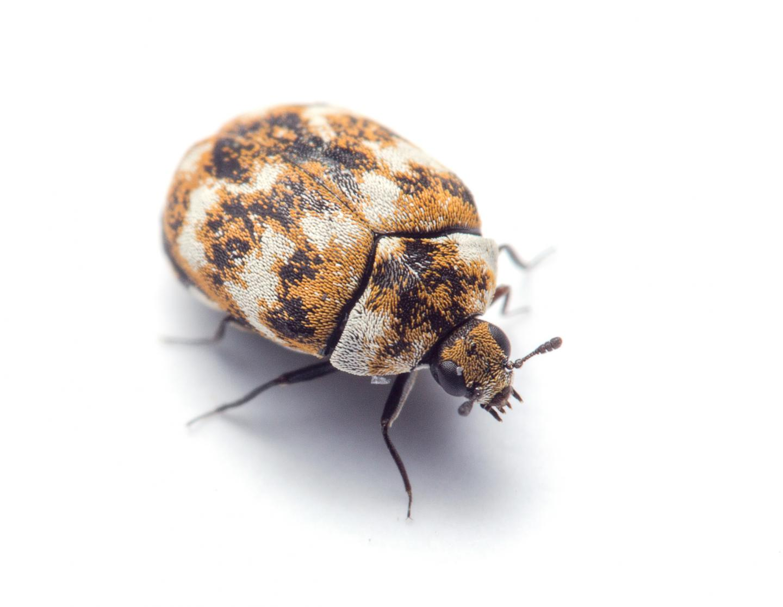 The Carpet Beetle