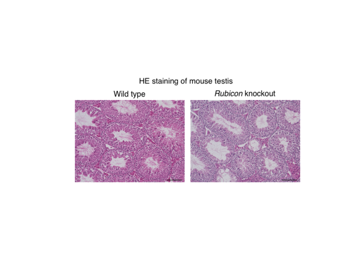 Figure 1. Systemic Rubicon-knockout mice exhibit a reduction in spermatogenesis.