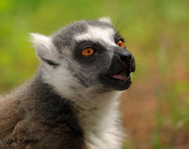 Lemur Vocalizing