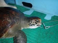 Green Turtle Caught on a Longline Hook