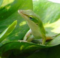 Green Anole Lizard