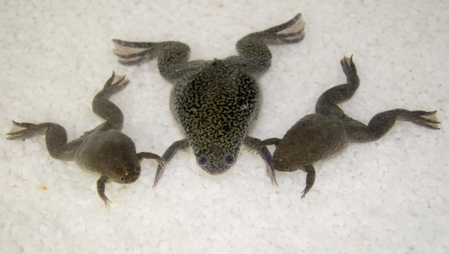Xenopus Frogs