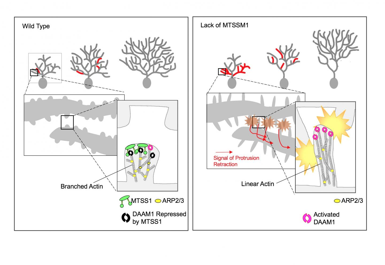Branching Image of Purkinje Cells