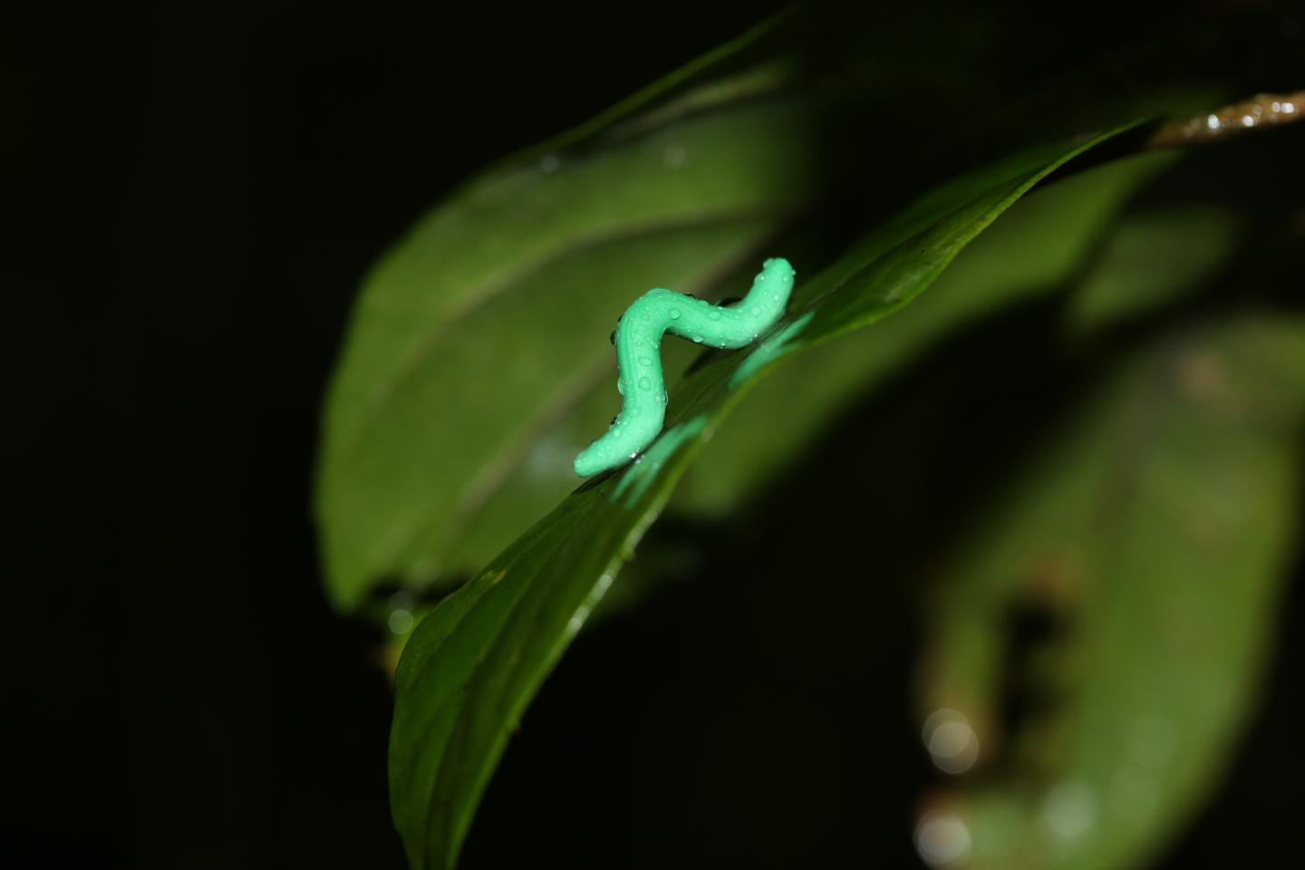 A Dummy Caterpillar used at a Site in Tai Po Kau, Hong Kong