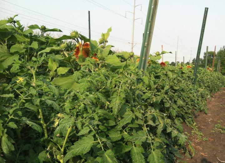 Fertilizer, Plastic Mulch Treatments Benefit Tomato Yield
