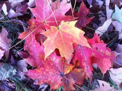 Recently Fallen Maple Leaves
