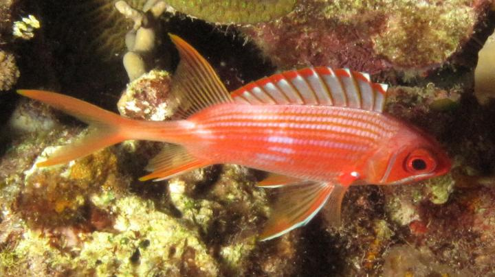 Squirrelfish (<i>Holocentrus rufus</i>) is a Nocturnal Reef Dwelling Fish