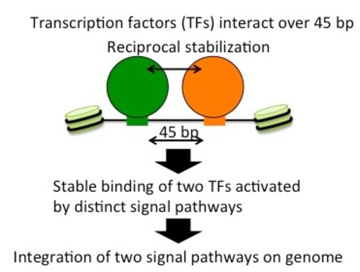 Binding of Atf1 and Rst2 on the chromatin.