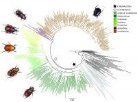 Dung Beetle Molecular Phylogeny