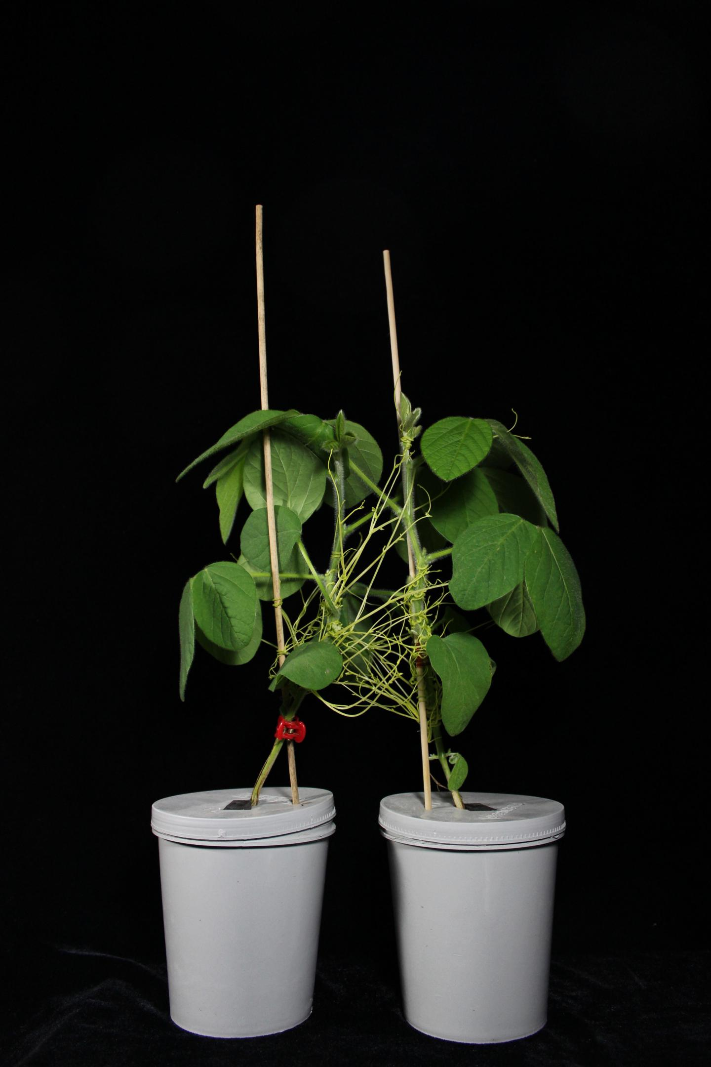 Parasitic <i>Cuscuta australis</i> Plant Connecting Two Soybean Plants