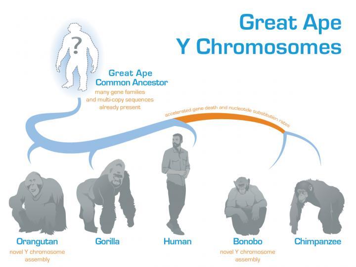 Great ape Y chromosome evolution