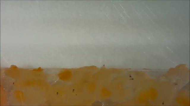 Wasp Tries to Infect <em>Drosophila</em>