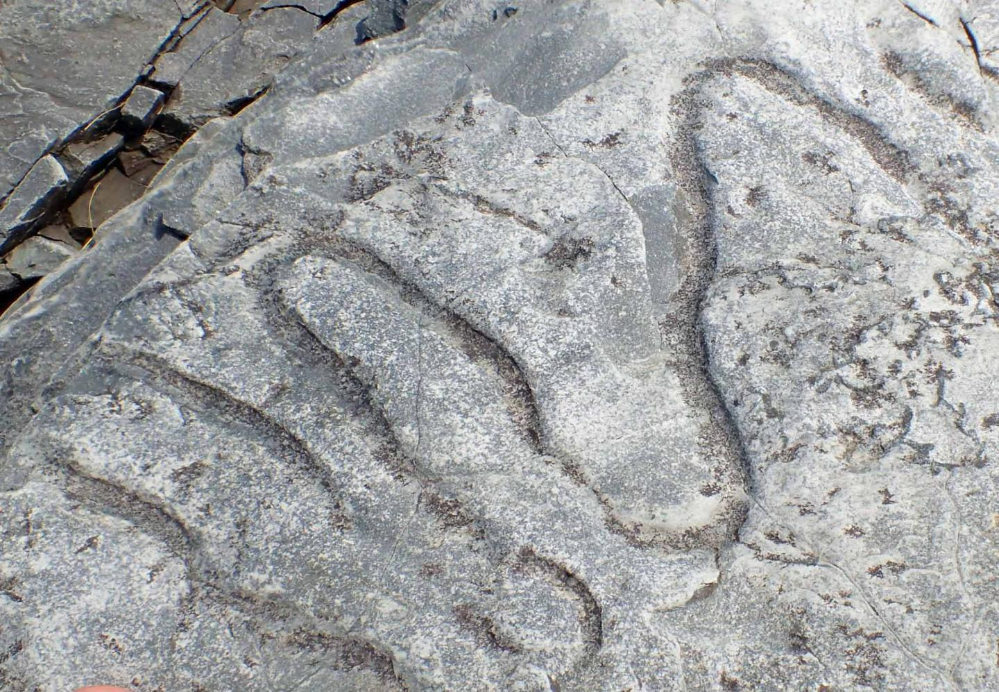 A fossilized meandering grazing trail from the Cambrian era