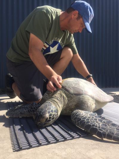 Gauging the Well-Being of Green Sea Turtles