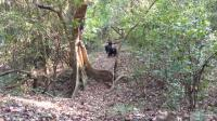 Edgar, the Alpha Male of the Mitumba Community, Gives a Full Pant-Hoot Call