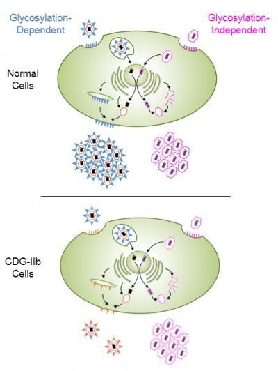 CDG-IIb