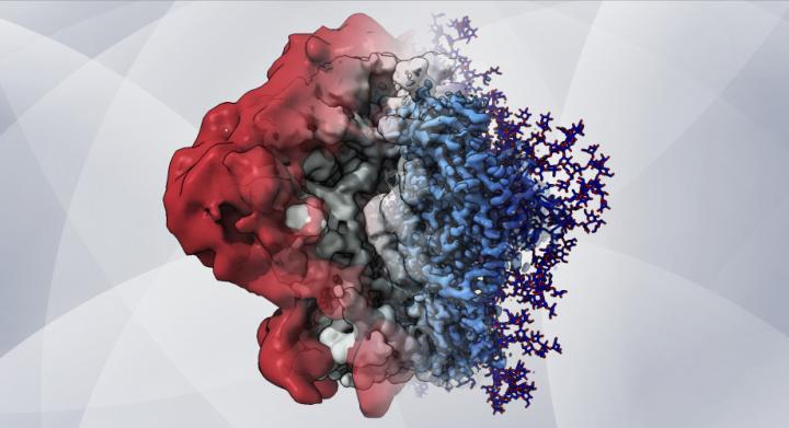 HIV's sugary shield