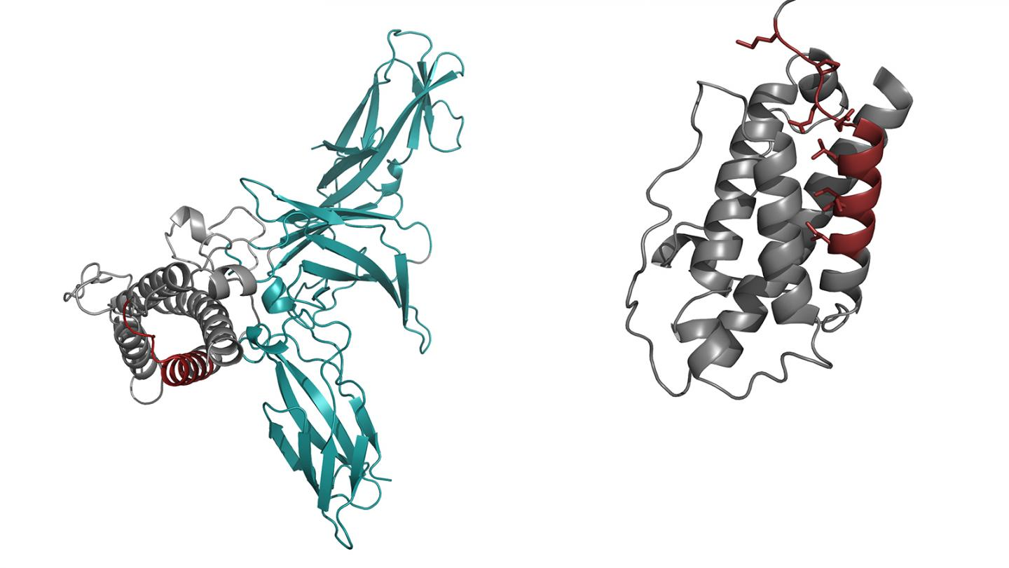 Structure of the Immune Signaling Protein Interleukin 23