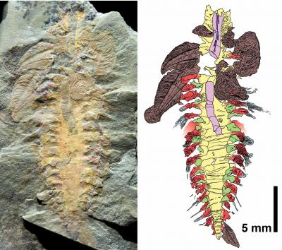 Fossil of Extinct Armored Worm