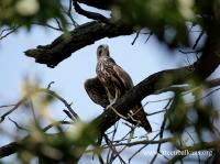 A Saker Falcon