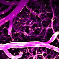 Calcium and blood flow